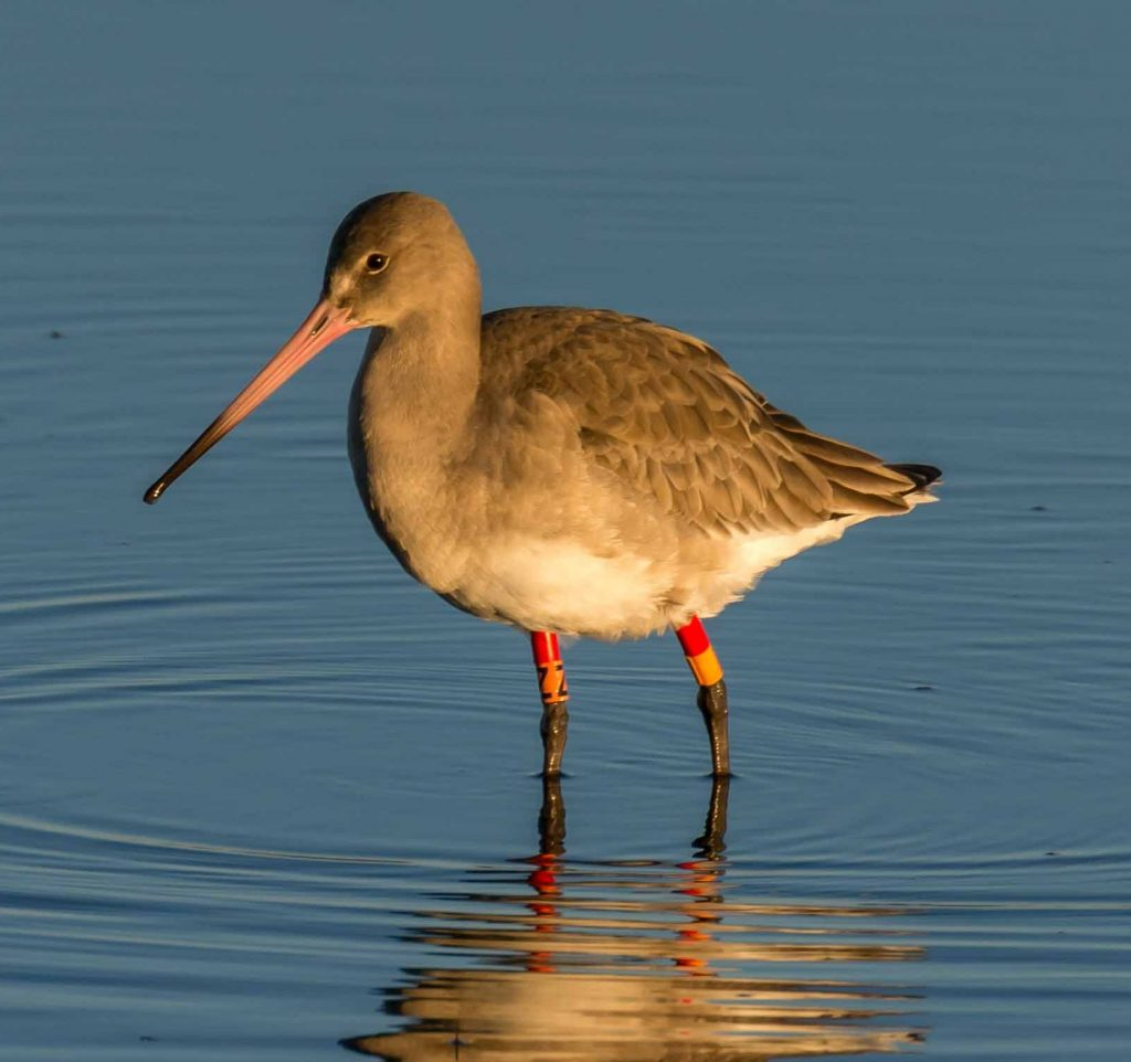 Colour ringed Black-tailed Godwit
