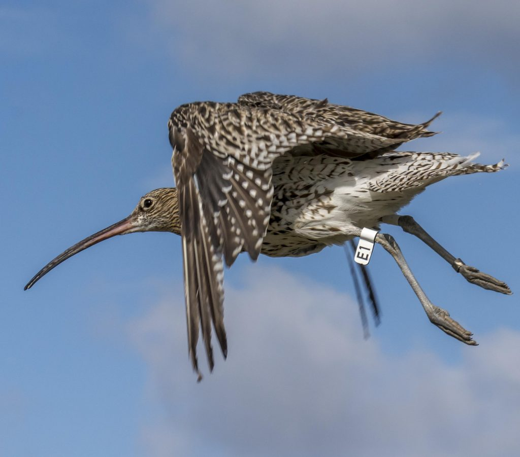 Curlew with flag E1