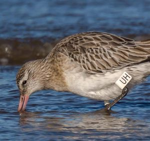 Flagged Bar-tailed Godwit