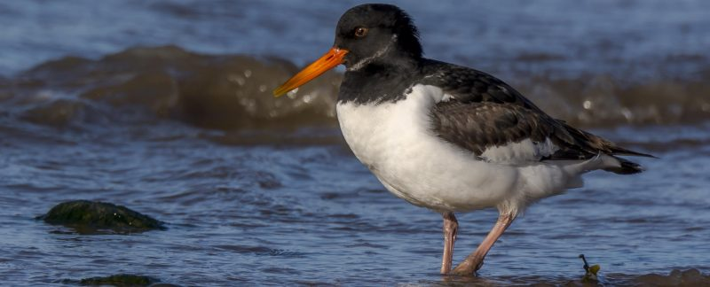 Juvenile Oystercatcher on beach