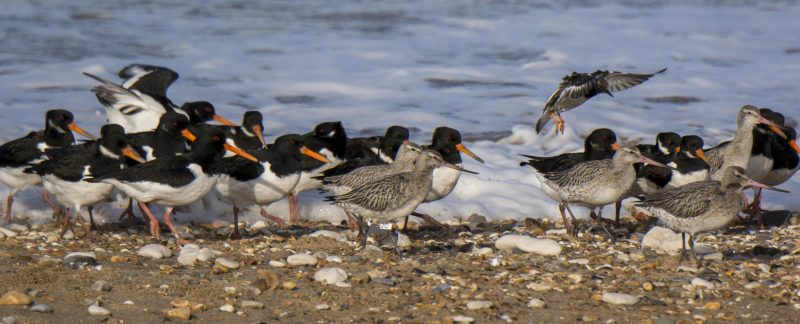Oystercatchers and Bar-tailed Godwits