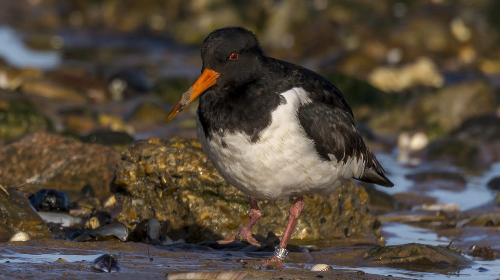 Ringed Oystercatcher, by Ruth Walker