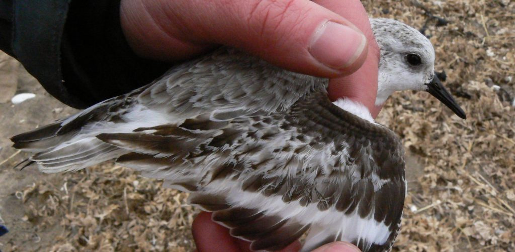Sanderling in the hand