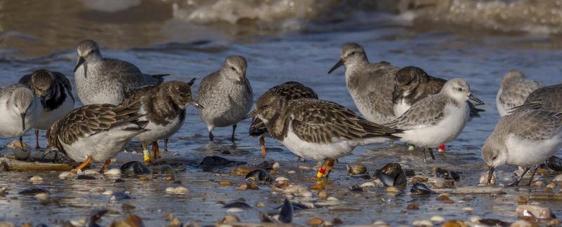 Turnstone, knot, sanderling