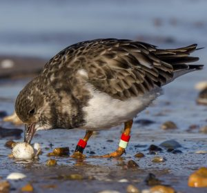 Colour ringed Turnstone feeding on beach