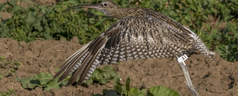 Curlew with flag A1