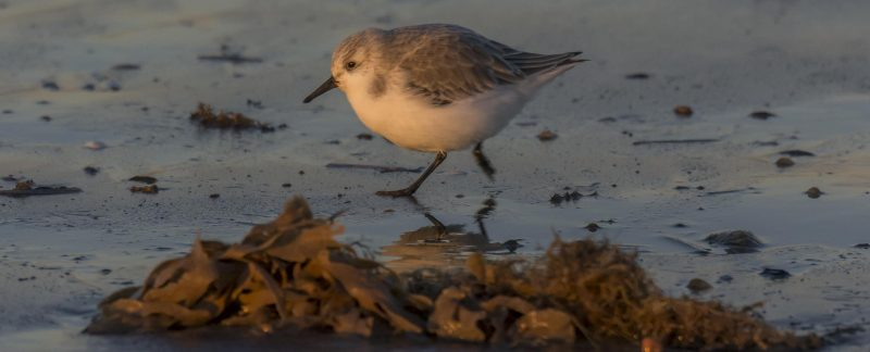Sanderling on Titchwell Beach