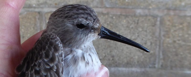 Dunlin, by Jenny Spencer-Jones