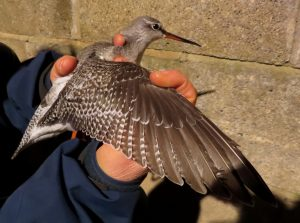 Spotted Redshank by Cathy Ryden