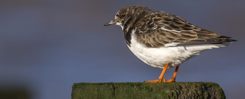 Turnstone sitting on a wooden plinth, by Ruth Walker.