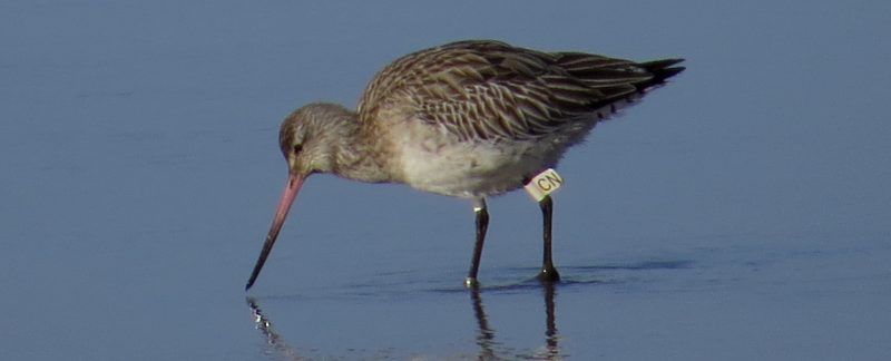 Flagged Bar-tailed Godwit by Cathy Ryden