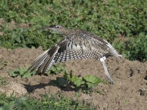Curlew wearing flag A1 taking off, by Ruth Walker