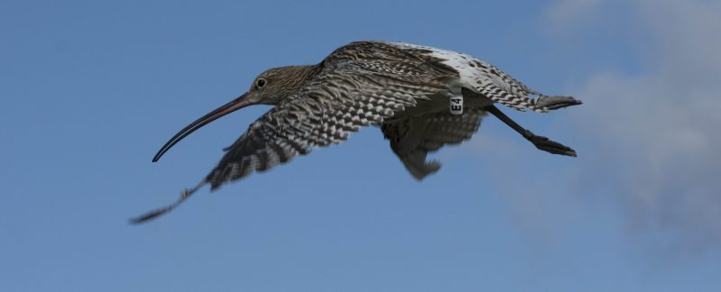 Flagged Curlew in flight