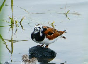 Turnstone on a rock, by Cathy Ryden