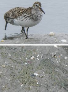 White-rumped Sandpiper and Horseshoe Crab eggs, by Cathy Ryden