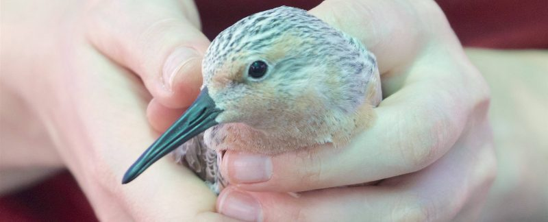 Red Knot in the hand, by Scott Hecker