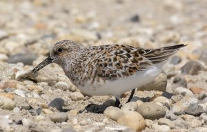 Sanderling eating a Horseshoe Crab egg, by Ruth Walker