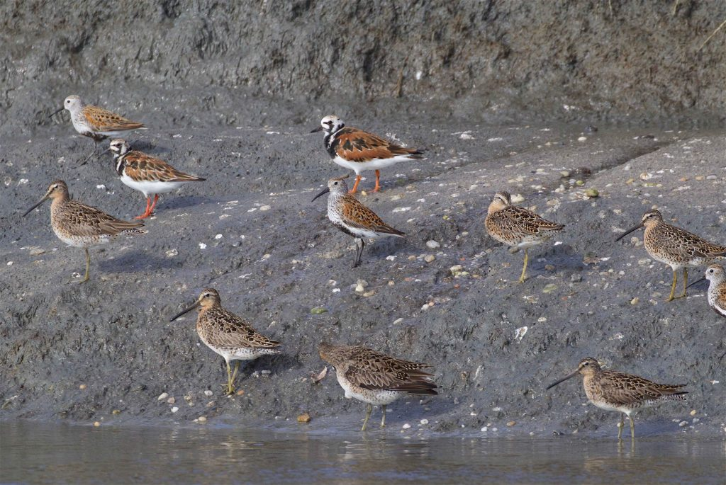 Some of the species that are the focus of research in Delaware Bay; Ruddy Turnstone, Dunlin and Short-billed Dowitcher. Photo by Scott Hecker.