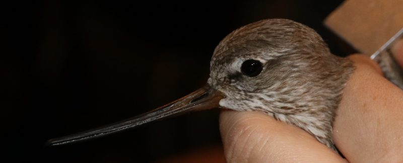 Terek Sandpiper, by Guy Anderson