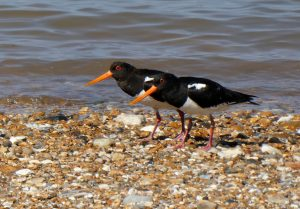 Oystercatchers at Snettisham, by Cathy Ryden