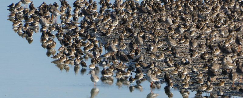 Waders at Snettisham Pits, by Cathy Ryden