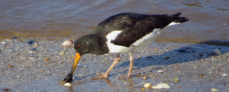 Oystercatcher at Hunstanton, by Cathy Ryden