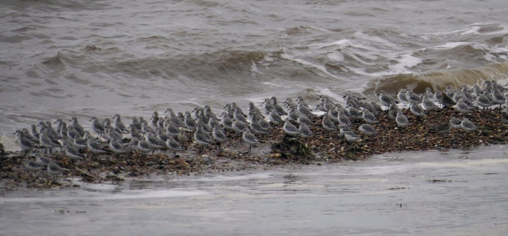 Sanderling at Heacham NN, by Cathy Ryden