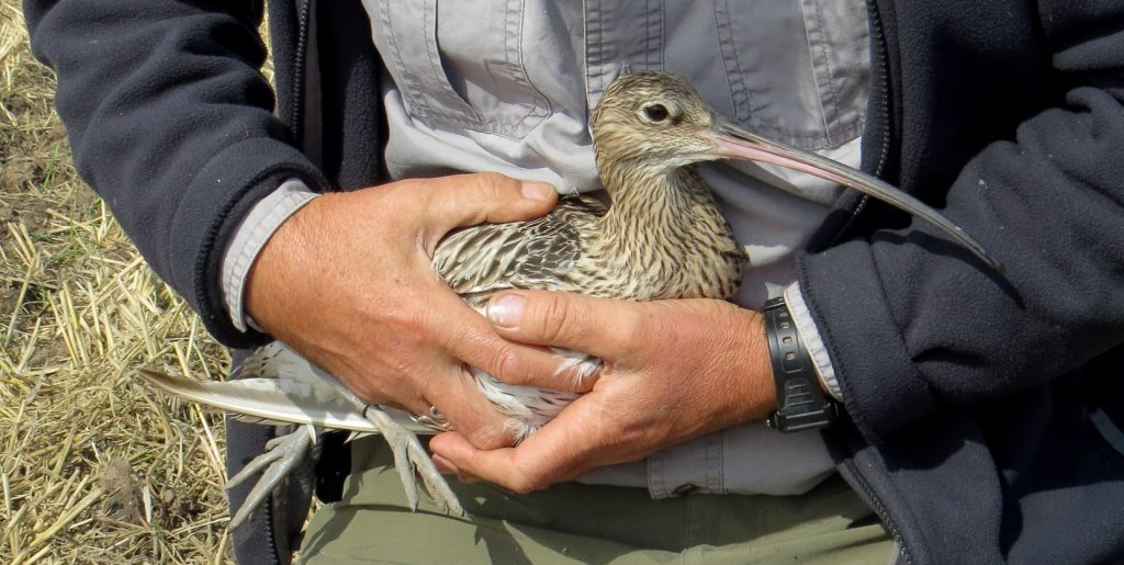 Newly ringed Curlew about to be released, by Cathy Ryden