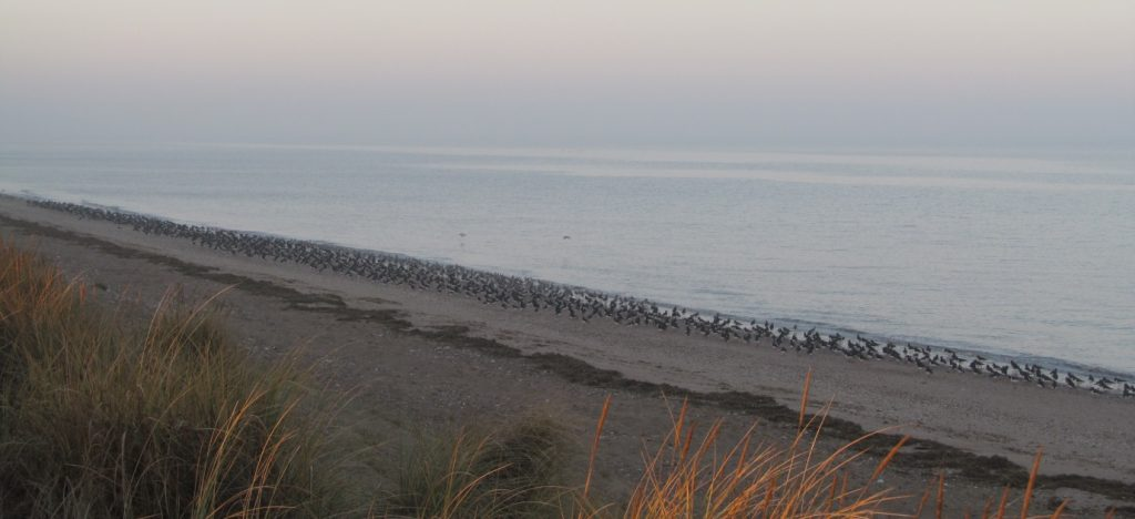 Oystercatchers on Heacham South Beach, by Alex Dodds