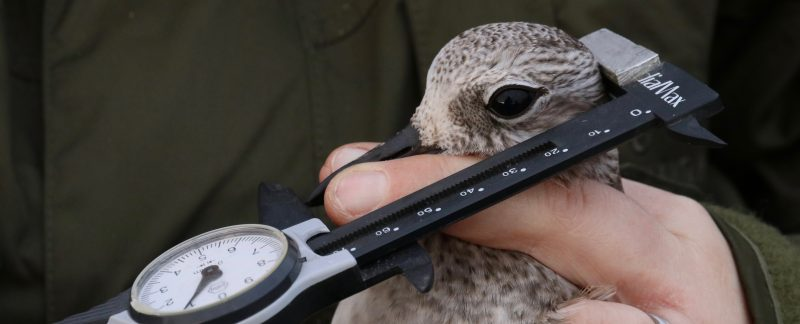 Measuring a Grey Plover's head and bill. Photo by Guy Anderson