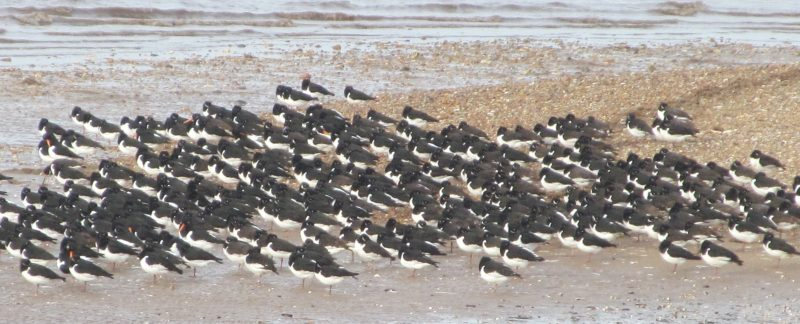 Roosting Oystercatchers, by Alex Dodds