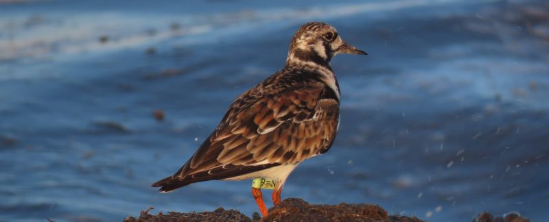 Turnstone with flag 9=N, by Cathy Ryden