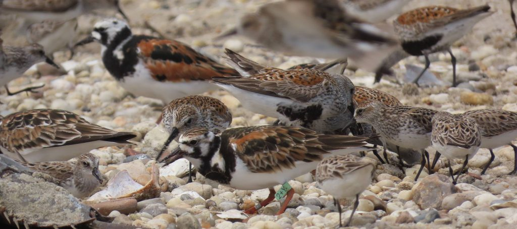 Turnstone, Dunlin and semis, by Cathy Ryden