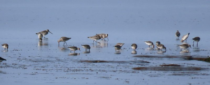 Waders returning to Snettisham Beach, by Cathy Ryden