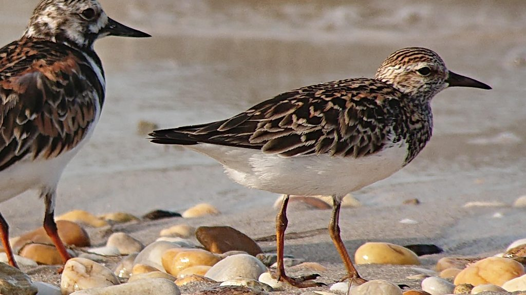 Pectoral Sandpiper on Slaughter Beach, by Nigel Clark