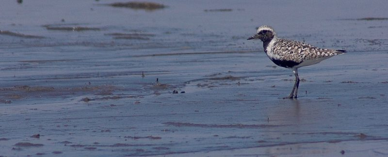 Grey Plover, by Rob Robinson