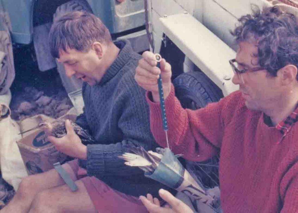 Mike Watson and Clive Minton processing a godwit, by Daphne Watson