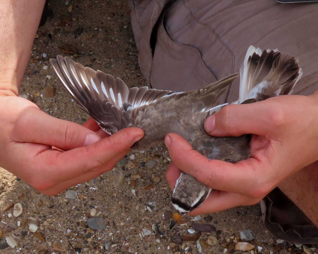 Examining a Ringed Plover, by Cathy Ryden