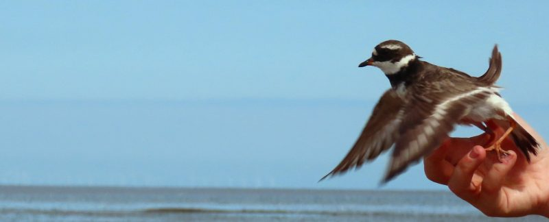 Releasing a Ringed Plover, by Cathy Ryden