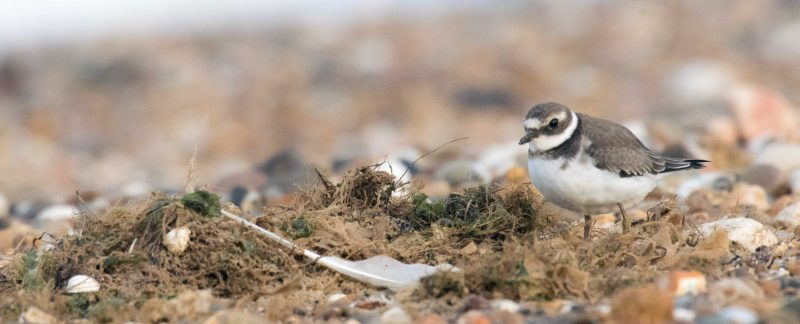 Ringed Plover on the tide rack, by Rob Robinson