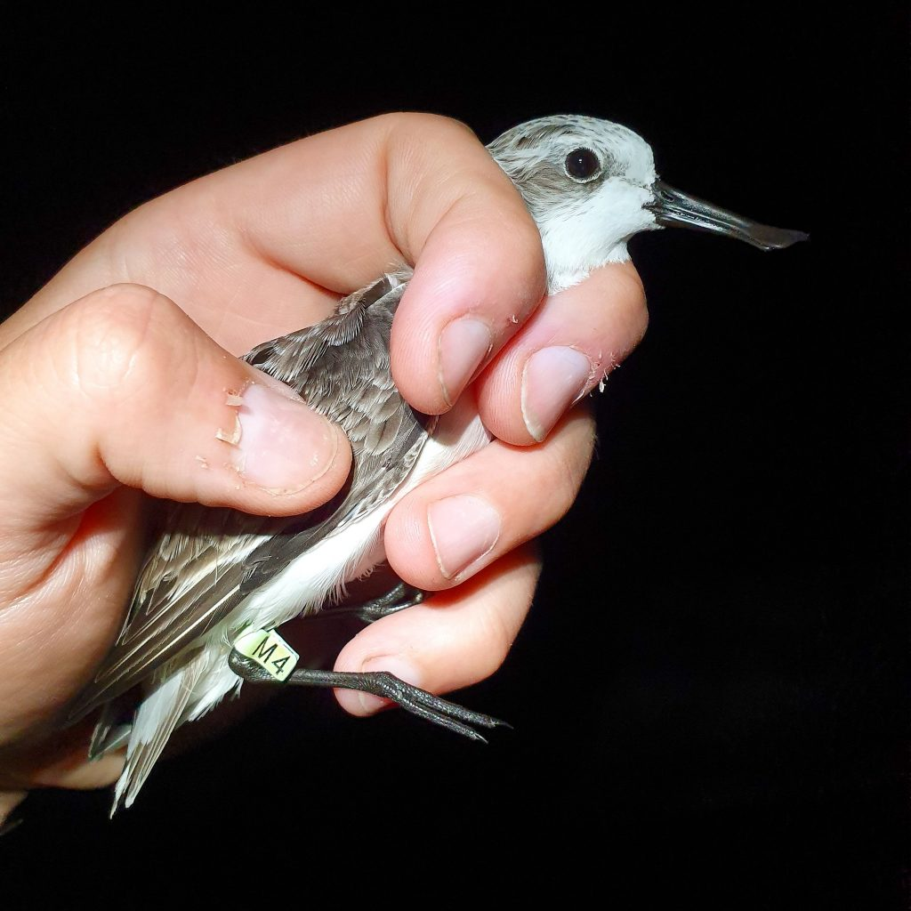 Spoon-billed Sandpiper M4 in hand Tiaozini 2Oct19, by Kane Brides