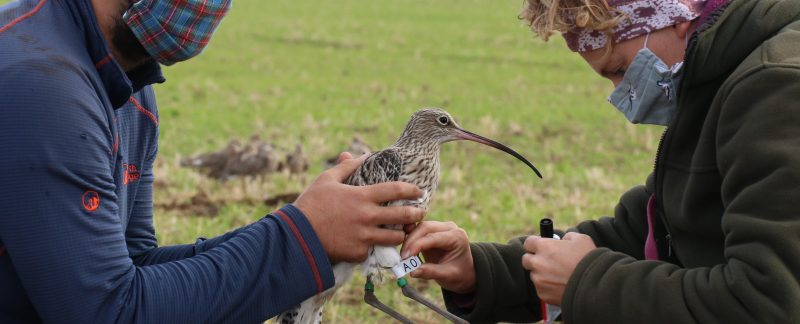 Putting a flag on a Curlew, by Guy Anderson