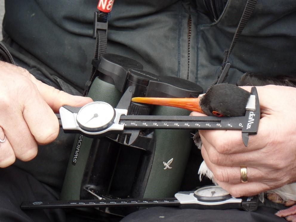 Measuring the bill of an Oystercatcher, by Chantal Macleod-Nolan