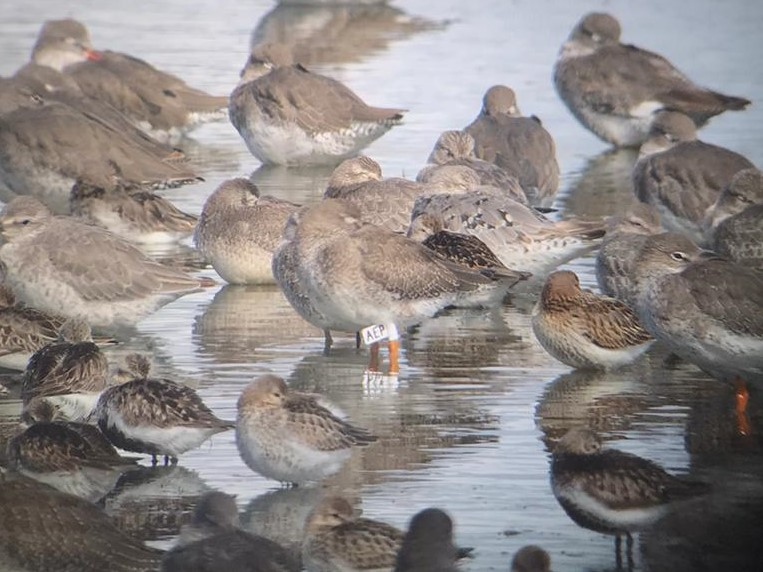 Flagged Redshank RSPB Freiston Shore, by Will Connock