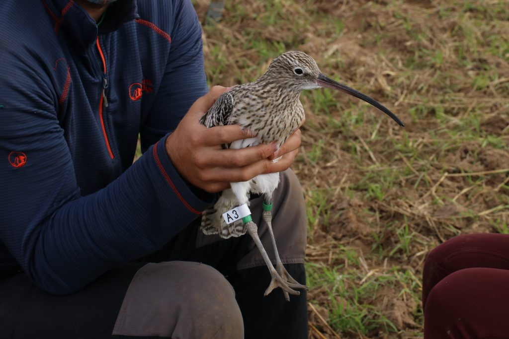 A Curlew being held after having a flag and colour rings fitted. Photo by Guy Anderson